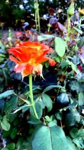 Fire Rose - Edited